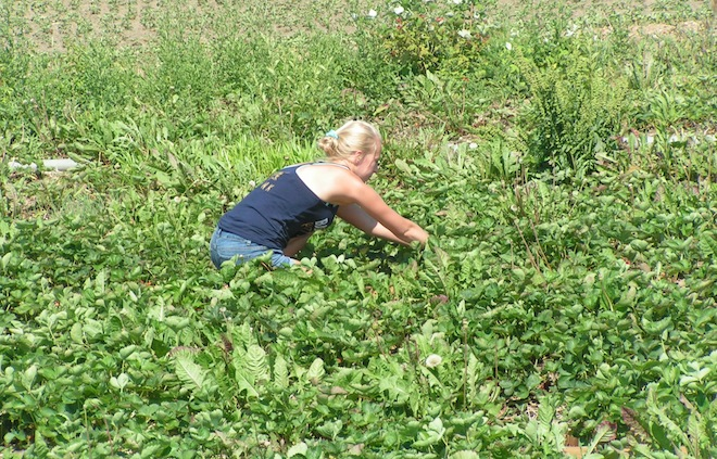 Extreme weather puts the pinch on area strawberry farms